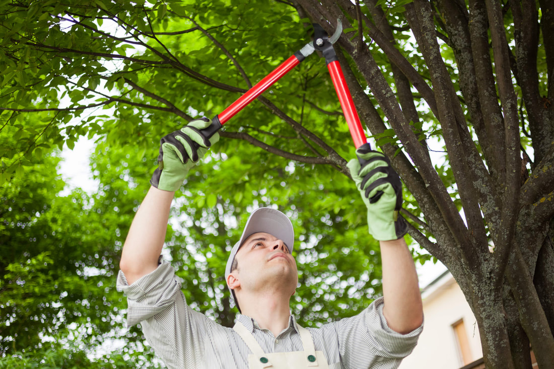Man holding a red pair of pruners trimming a tree above his head.